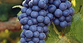 Pinot Noir uma uva a favor da sua saúde.